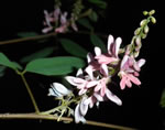 picture of Indigofera suffruticosa, image of Indigofera suffruticosa, photograph of -