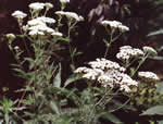 picture of Achillea borealis, image of Achillea millefolium var. occidentalis, photograph of Achillea millefolium