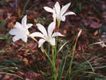 picture of Zephyranthes atamasco, image of Zephyranthes atamasca var. atamasca, photograph of Zephyranthes atamasco