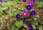 picture of Ipomoea purpurea, image of Ipomoea purpurea, photograph of Ipomoea purpurea