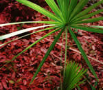 picture of Serenoa repens, image of Serenoa repens, photograph of Serenoa repens