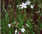 picture of Silene latifolia, image of Silene latifolia ssp. alba, photograph of Lychnis alba