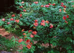 picture of Rhododendron cumberlandense, image of Rhododendron cumberlandense, photograph of -