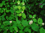 picture of Hydrangea cinerea, image of Hydrangea cinerea, photograph of Hydrangea arborescens ssp. discolor