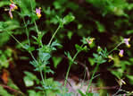 picture of Capnoides sempervirens, image of Corydalis sempervirens, photograph of Corydalis sempervirens