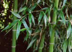 picture of Phyllostachys aurea, image of Phyllostachys aurea, photograph of Phyllostachys aurea