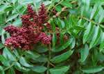 picture of Rhus copallinum +, image of Rhus copallinum +, photograph of Rhus copallina