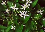 picture of Clematis terniflora, image of Clematis terniflora, photograph of Clematis dioscoreifolia