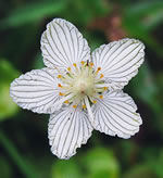 Kidneyleaf Grass-of-Parnassus