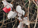 picture of Smilax glauca, image of Smilax glauca, photograph of Smilax glauca