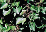 picture of Hedera helix var. helix, image of Hedera helix, photograph of Hedera helix