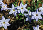 picture of Tristagma uniflorum, image of Tristagma uniflorum, photograph of Ipheion uniflorum