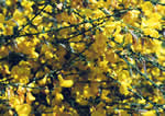 picture of Cytisus scoparius, image of Cytisus scoparius var. scoparius, photograph of Cytisus scoparius