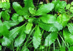 picture of Micranthes micranthidifolia, image of Saxifraga micranthidifolia, photograph of Saxifraga micranthidifolia