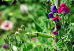 picture of Lathyrus odoratus, image of Lathyrus odoratus, photograph of -