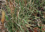 picture of Andropogon virginicus var. virginicus, image of Andropogon virginicus var. virginicus, photograph of Andropogon virginicus