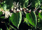 picture of Reynoutria japonica, image of Polygonum cuspidatum, photograph of Polygonum cuspidatum