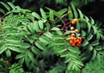 picture of Sorbus aucuparia ssp. aucuparia, image of Sorbus aucuparia, photograph of -
