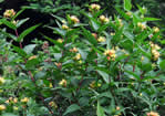 picture of Diervilla sessilifolia, image of Diervilla sessilifolia, photograph of Diervilla sessilifolia var. sessilifolia