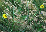 picture of Tragopogon dubius, image of Tragopogon dubius, photograph of Tragopogon dubius