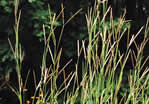 picture of Andropogon gerardii, image of Andropogon gerardii, photograph of Andropogon gerardii