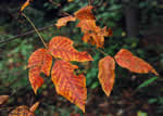 picture of Toxicodendron radicans var. radicans, image of Toxicodendron radicans ssp. radicans, photograph of Rhus radicans