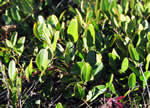 picture of Smilax auriculata, image of Smilax auriculata, photograph of Smilax auriculata