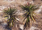 picture of Yucca gloriosa, image of Yucca gloriosa, photograph of Yucca gloriosa