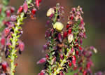 picture of Berberis bealei, image of Mahonia bealei, photograph of Mahonia bealei