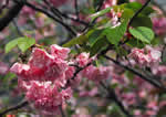 picture of Prunus Xyedoensis, image of Prunus Xyedoensis [subhirtella X speciosa] , photograph of -