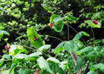 picture of Lonicera dioica, image of Lonicera dioica, photograph of Lonicera dioica