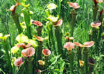 picture of Sarracenia flava, image of Sarracenia flava, photograph of Sarracenia flava