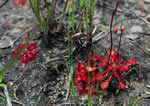 picture of Drosera capillaris, image of Drosera capillaris, photograph of Drosera capillaris