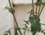 picture of Sonchus oleraceus, image of Sonchus oleraceus, photograph of Sonchus oleraceus