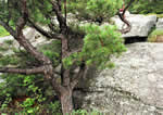 picture of Pinus pungens, image of Pinus pungens, photograph of Pinus pungens