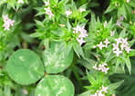 picture of Galium sherardia, image of Sherardia arvensis, photograph of Sherardia arvensis