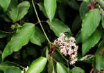 picture of Cornus amomum, image of Cornus amomum, photograph of Cornus amomum