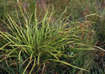 picture of Carex crinita var. crinita, image of Carex crinita var. crinita, photograph of Carex crinita var. crinita