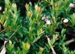 picture of Vaccinium macrocarpon, image of Vaccinium macrocarpon, photograph of Vaccinium macrocarpon