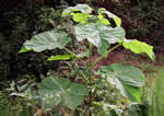 picture of Paulownia tomentosa, image of Paulownia tomentosa, photograph of Paulownia tomentosa