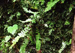 picture of Asplenium monanthes, image of Asplenium monanthes, photograph of Asplenium monanthes