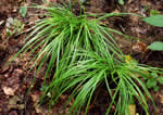 picture of Carex austrocaroliniana, image of Carex austrocaroliniana, photograph of Carex austro-caroliniana