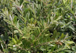 picture of Salix humilis, image of Salix humilis var. humilis, photograph of Salix humilis