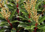 picture of Pieris floribunda, image of Pieris floribunda, photograph of Pieris floribunda