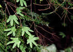 picture of Lygodium palmatum, image of Lygodium palmatum, photograph of Lygodium palmatum