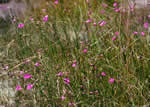 picture of Agalinis purpurea, image of Agalinis purpurea, photograph of Agalinis purpurea