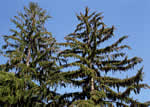 picture of Picea abies, image of Picea abies, photograph of -