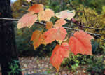 picture of Acer spicatum, image of Acer spicatum, photograph of Acer spicatum