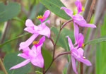 picture of Calopogon barbatus, image of Calopogon barbatus, photograph of Calopogon barbatus