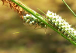 picture of Carex verrucosa, image of Carex verrucosa, photograph of Carex verrucosa
